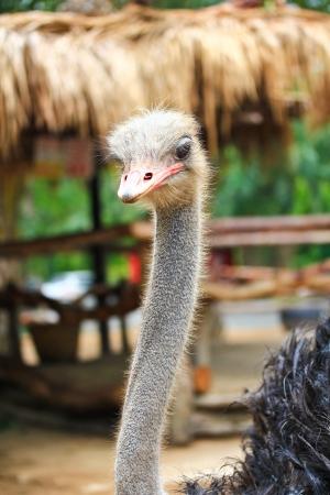 aviary: Ostrich