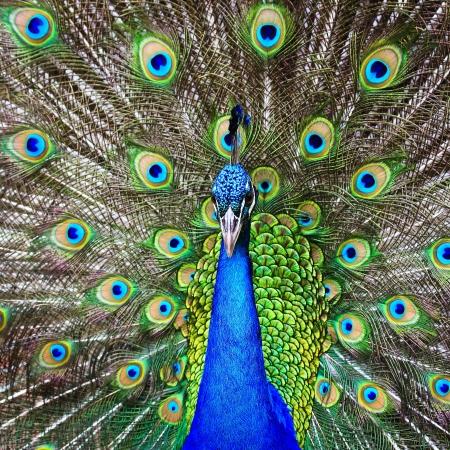 pavo real: hermoso verde pavo real