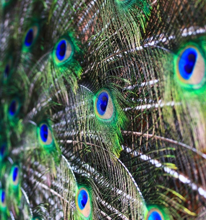abstract background Peacock feathers  photo