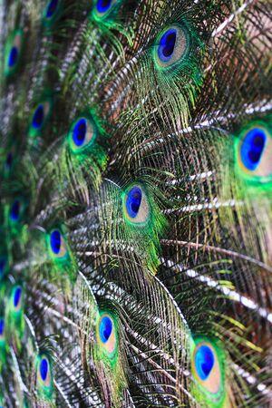 추상적 인 배경 공작의 깃털