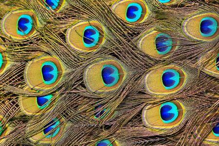추상적 인 배경 공작 깃털