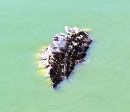 crocodile Stock Photo - 16154102