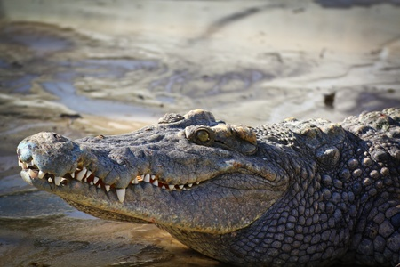 crocodile Stock Photo - 16153935
