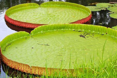 Victoria amazonica Lotus leaf green background Stock Photo - 16154214