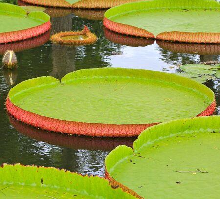 Victoria amazonica Lotus leaf green background Stock Photo - 16154078