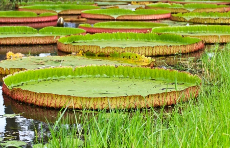 Victoria amazonica Lotus leaf green background  photo