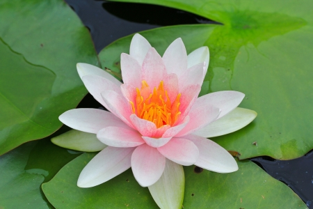 lilie: Sch�ne lotus Hintergrund