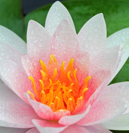 Beautiful lotus background  photo