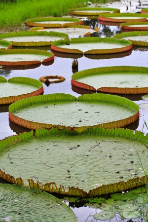Victoria amazonica Lotus leaf green background  Stock Photo - 16152469