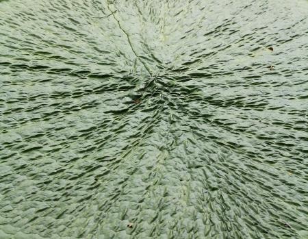 65279;leaf lotus Stock Photo - 16154242