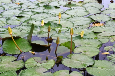 65279;leaf lotus photo