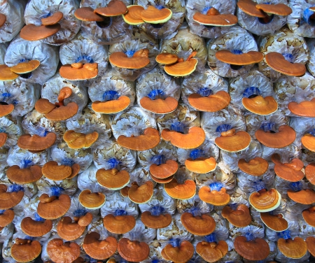 mushroom Ganoderma lucidum in the mushroom farm  Stock Photo - 16239312