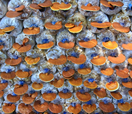 lucid: mushroom Ganoderma lucidum in the mushroom farm  Stock Photo