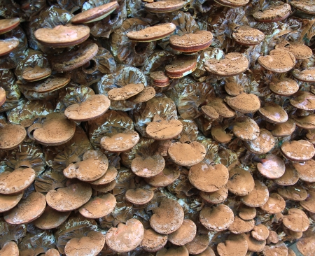 lucidum: mushroom Ganoderma lucidum in the mushroom farm  Stock Photo