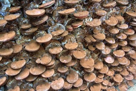 mushroom Ganoderma lucidum in the mushroom farm  Stock Photo - 16239969
