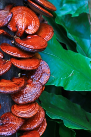 mushroom Ganoderma lucidum in the mushroom farm  Stock Photo