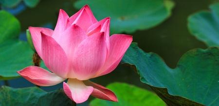 lake flowers: Beautiful lotus pink background