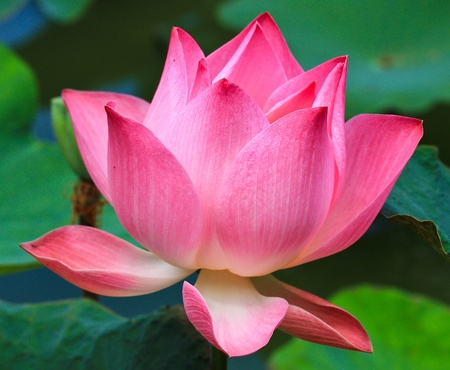 Belle lotus rose fond Banque d'images
