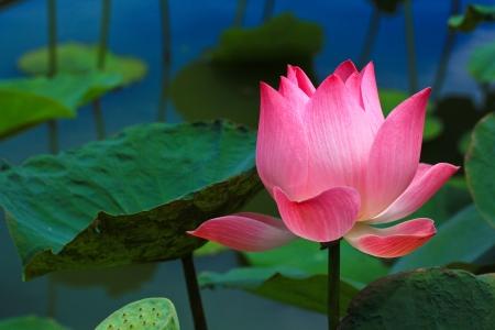 아름다운 연꽃 핑크 배경