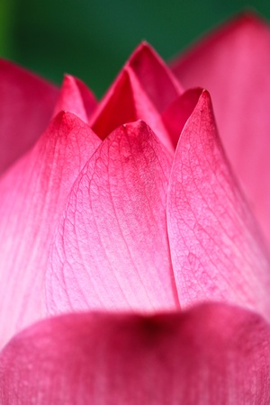 Beautiful lotus pink background photo