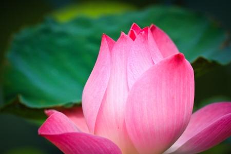 Красивый лотос розовый фон Фото со стока