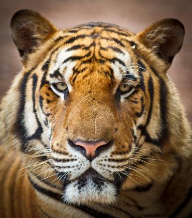 roaring tiger: Tiger