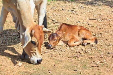 asia cow  photo