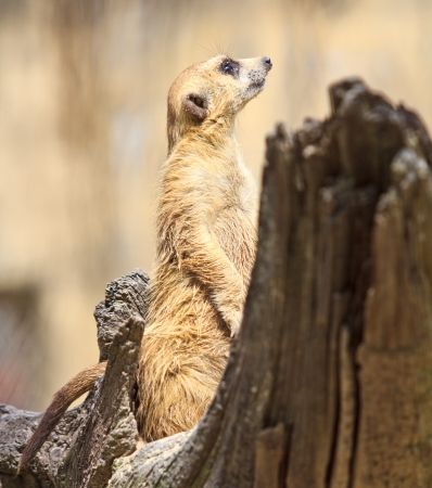 suricata suricatta: Meerkat  Stock Photo