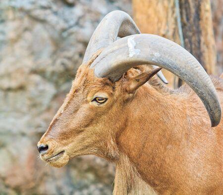 cabra montes: Cabra monta�osa