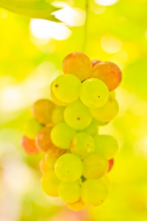 purple red grapes with green leaves on the vine  photo