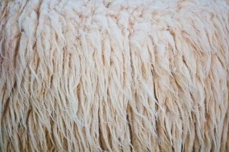 sheepskin: close up textura de piel de oveja fondo