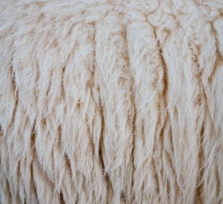 close up sheepskin texture background  Stock Photo - 16321163