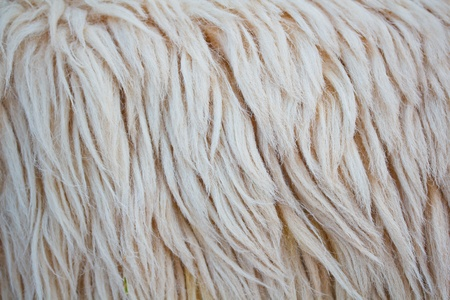 sheepskin: close up sheepskin texture background