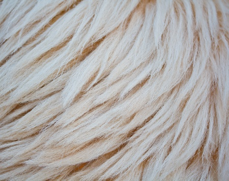 close up sheepskin texture background  Stock Photo - 16323987