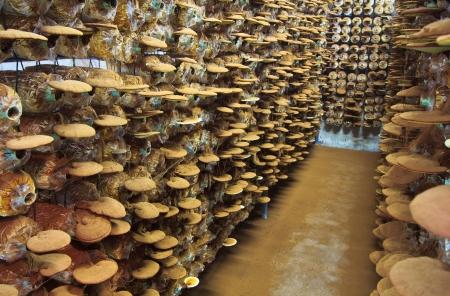 mushroom Ganoderma lucidum in the mushroom farm  Stock Photo - 16321098