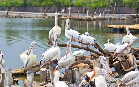 pelikan: Pelikan Stock Photo