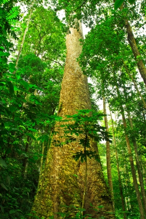 Big tree in the forest Thailand  photo