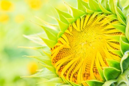 Sunflower Stock Photo - 17182804