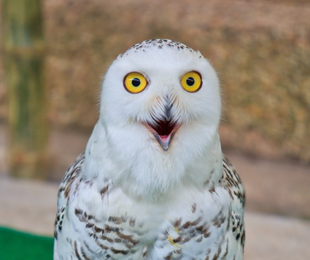 lordly: portrait of a beautiful snow owl