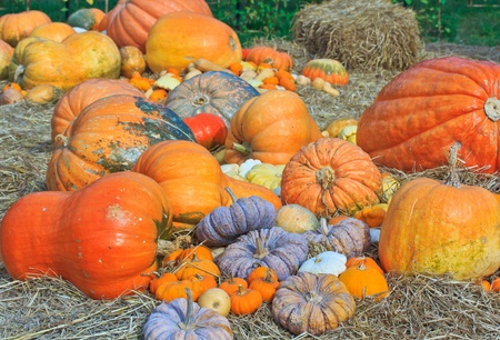 Pumpkin variety  photo