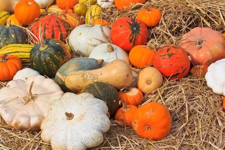 Pumpkin variety  photo