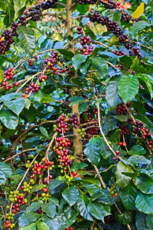unpicked: Coffee trees