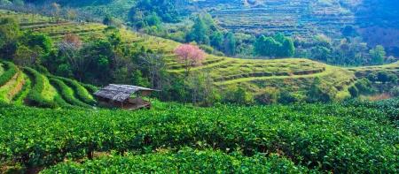 planta de cafe: Plantación de té