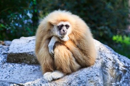 gibbon: Gibbon