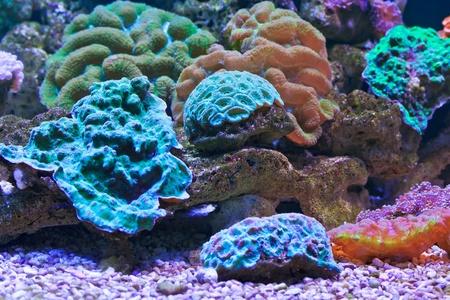 reefscape: aquarium  Coral