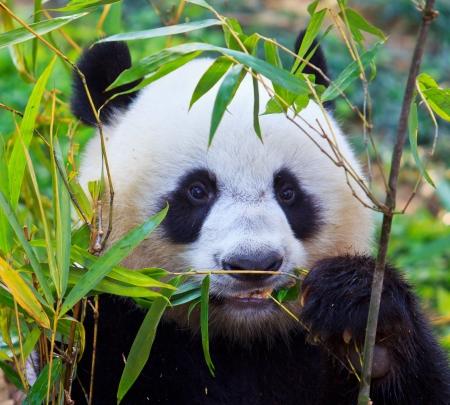 oso negro: Oso panda Foto de archivo