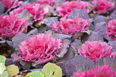 Purple cabbage photo