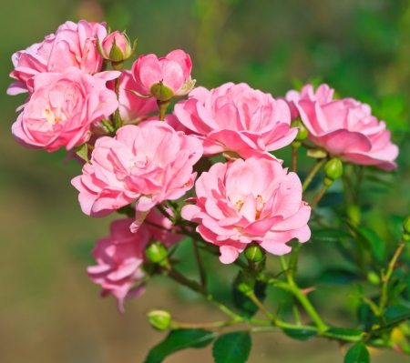 shrubs: Pink rose