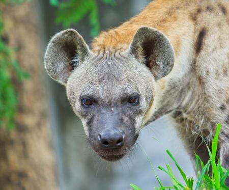 scavenge: Hyena