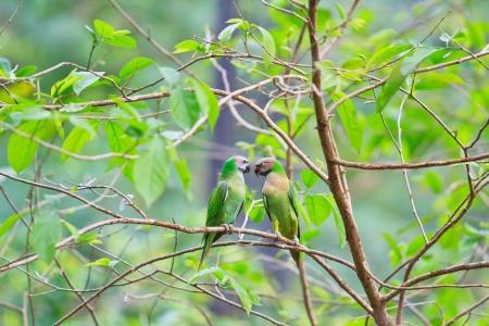 alexandrine parakeet psittacula eupatria Colorful parrot Beautif photo